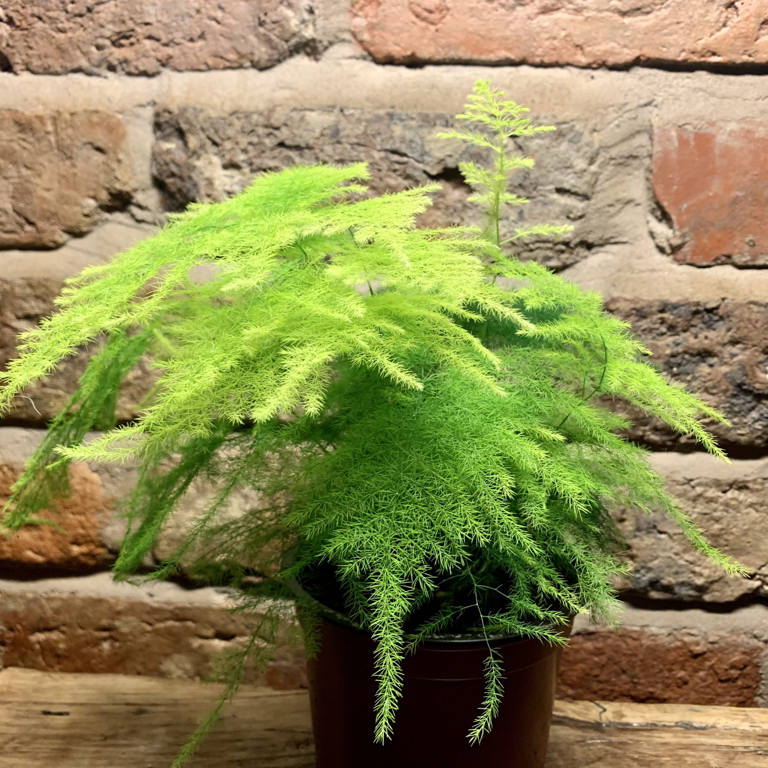 'OPHELIA' The Asparagus Fern